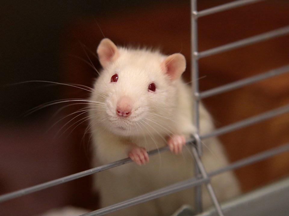 Bahan Pengusir Tikus