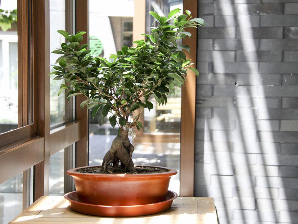 bonsai bagi pemula