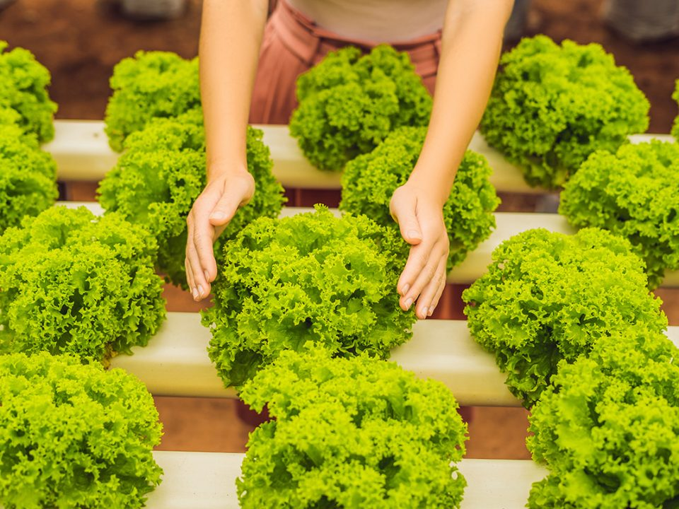 Tanaman hidroponik sayuran