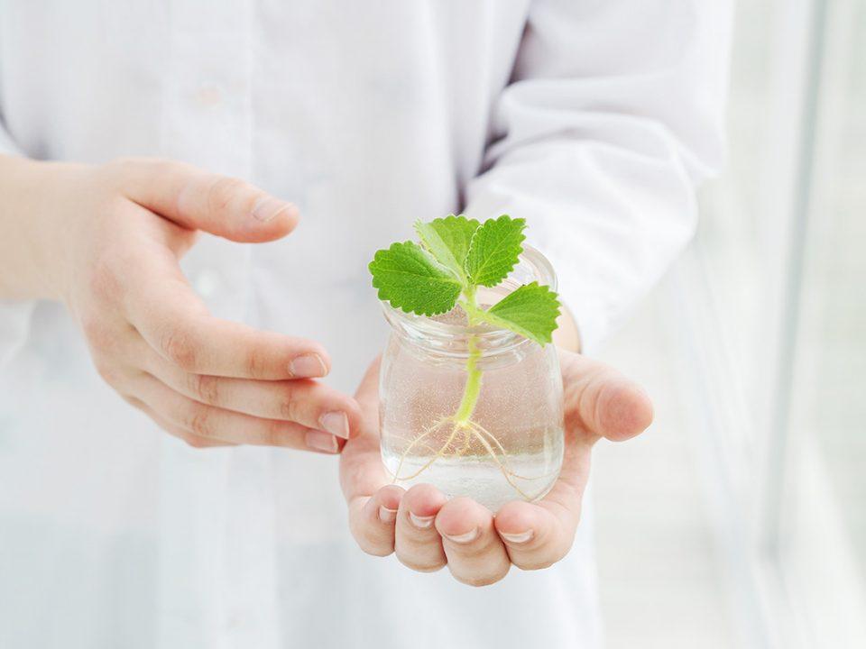 menanam daun mint