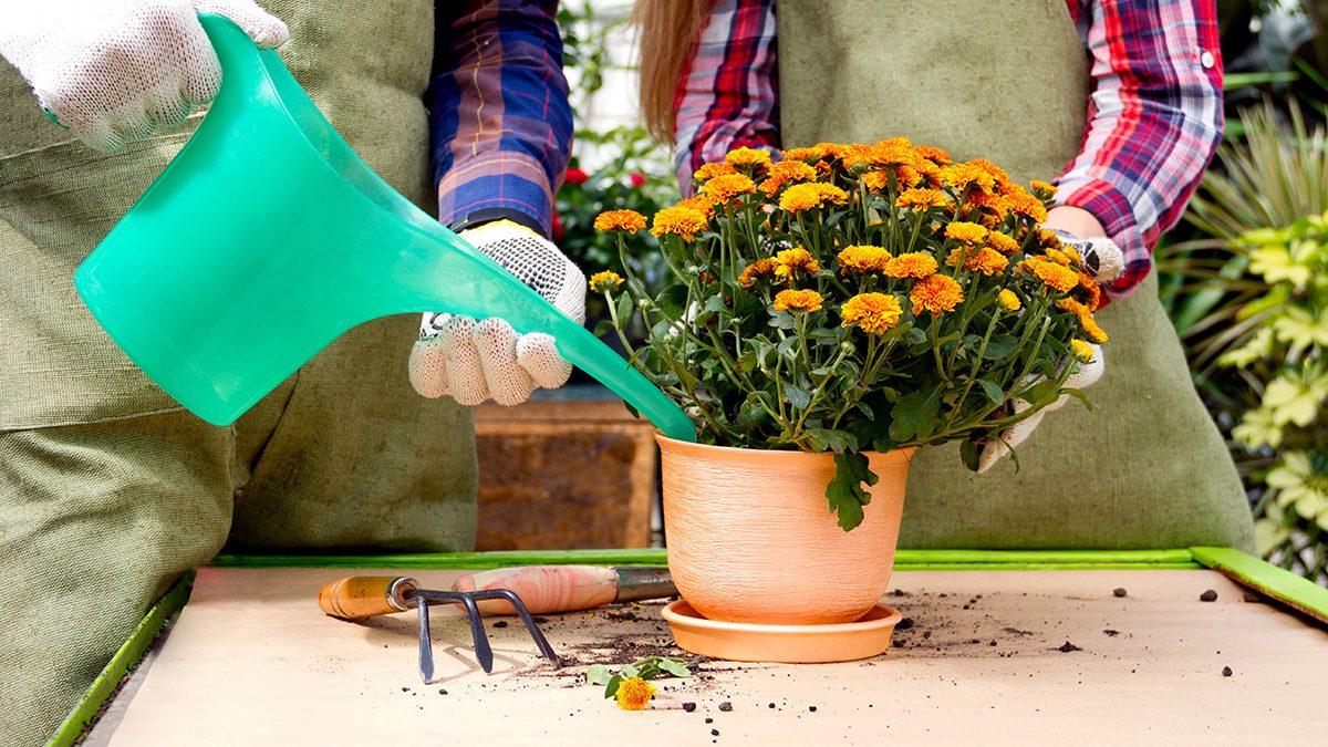 Hasil gambar untuk Bunga Krisan yang Menawan