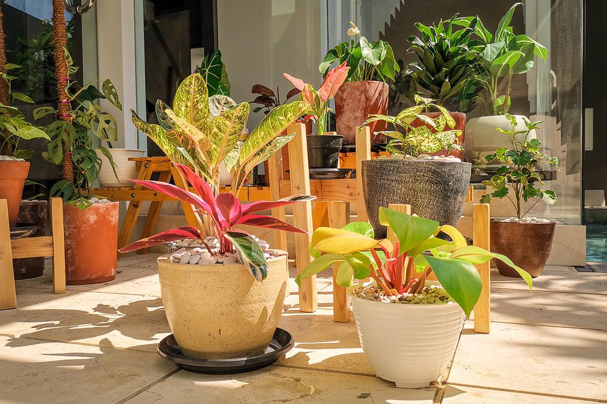 Tanaman hias indoor aglonema