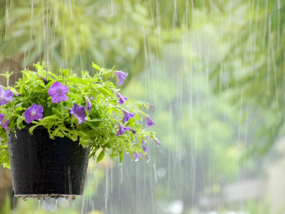 Merawat tanaman musim hujan