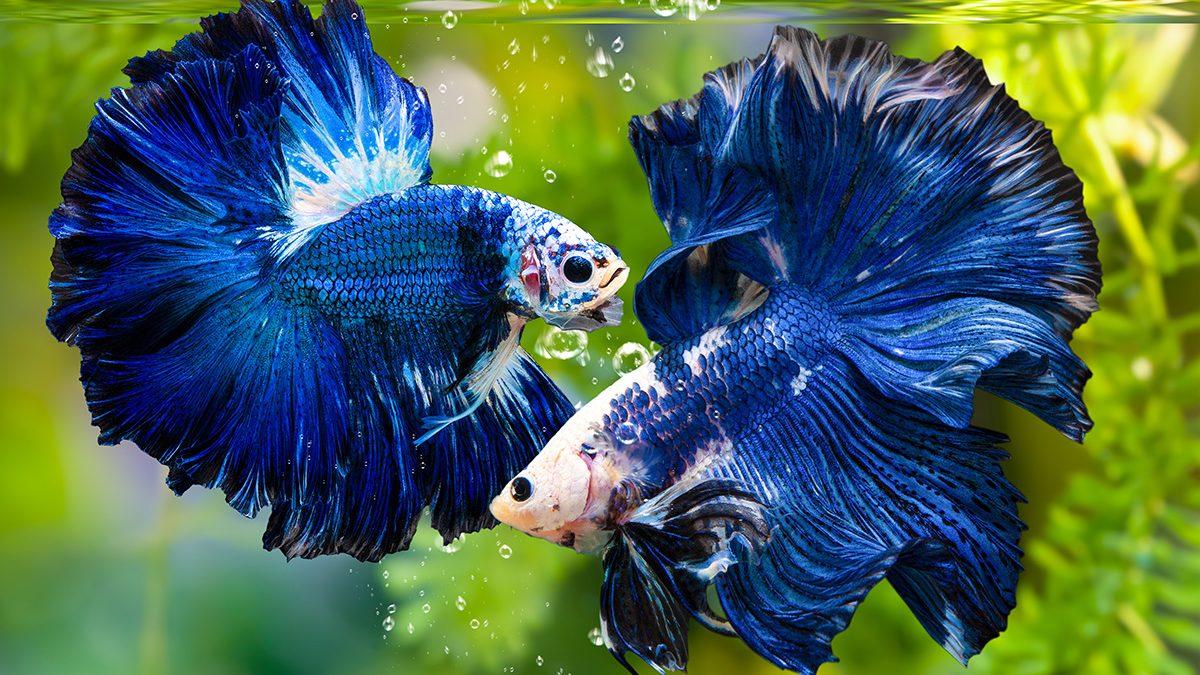 5 Cara Merawat Ikan Cupang Agar Warnanya Cantik Berkeluarga
