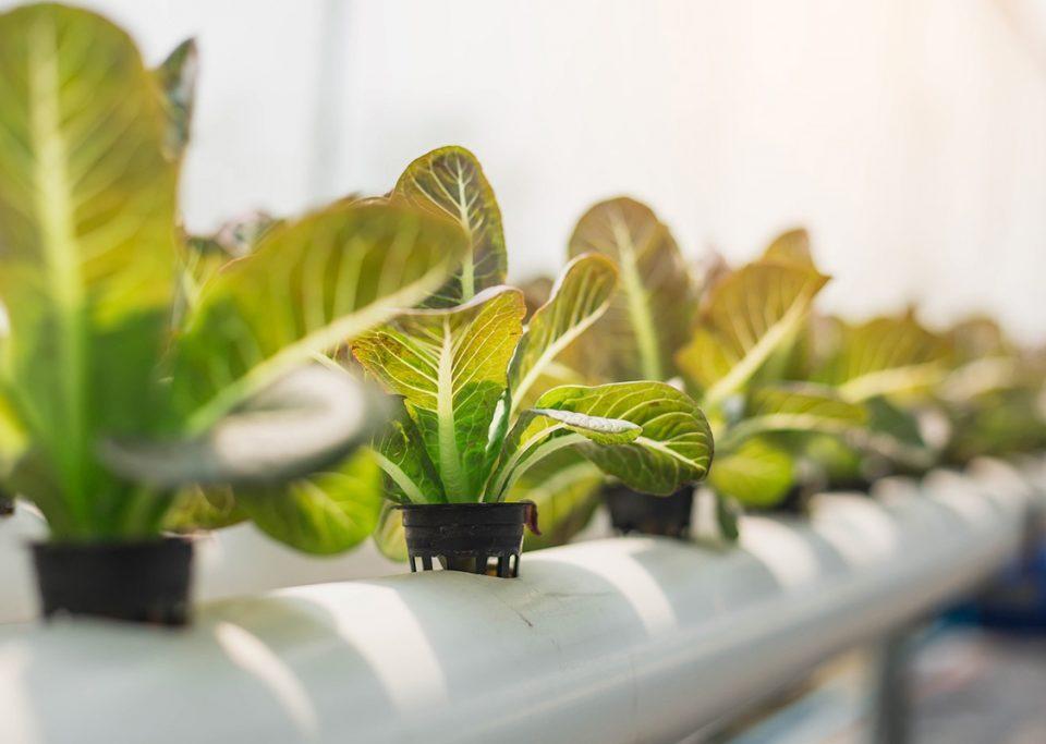 Cara menanam sayuran