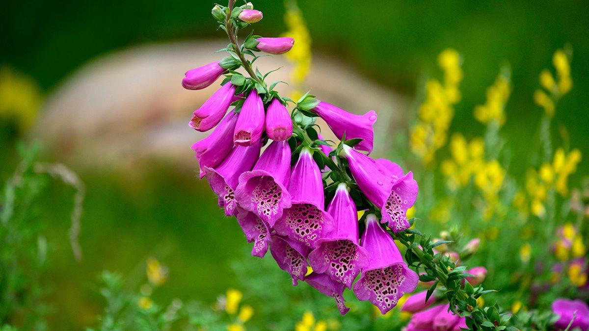 Bunga Beracun