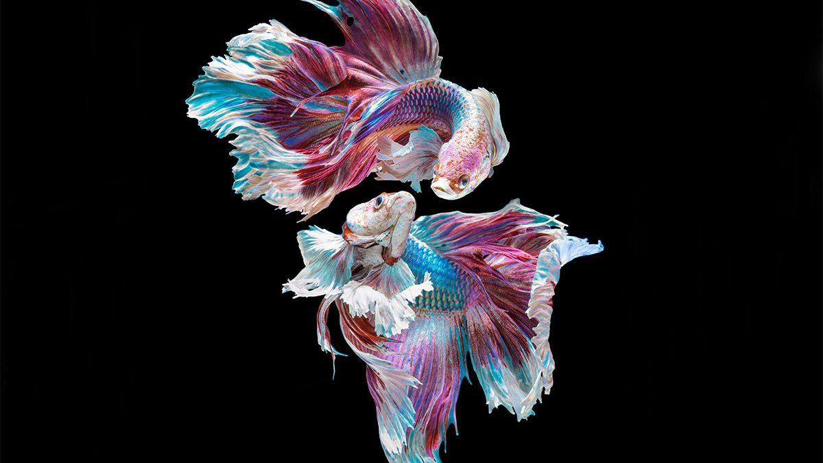 Cara Membedakan Ikan Cupang