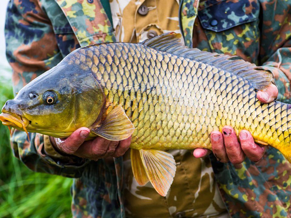 Ikan Cepat Besar