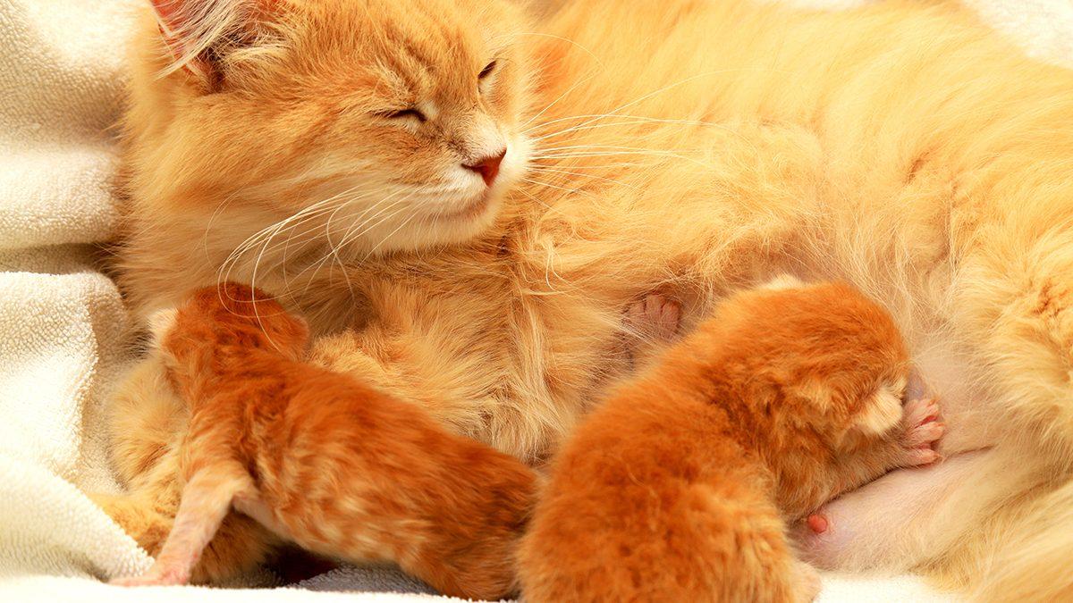 Tanda Kucing Melahirkan
