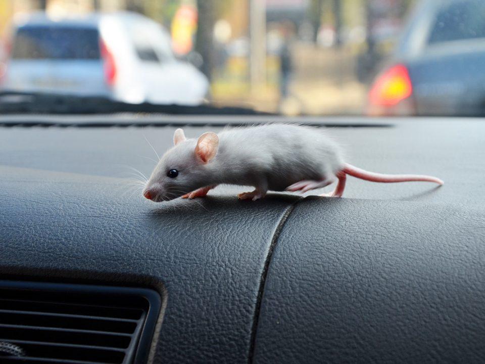Tikus di Mobil