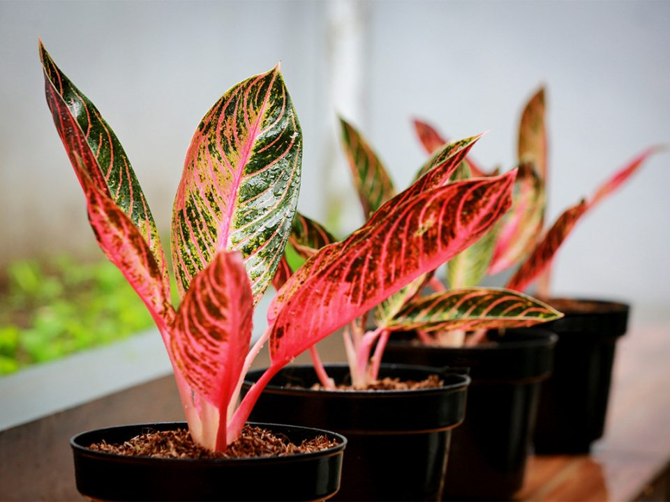 Tanaman daun merah